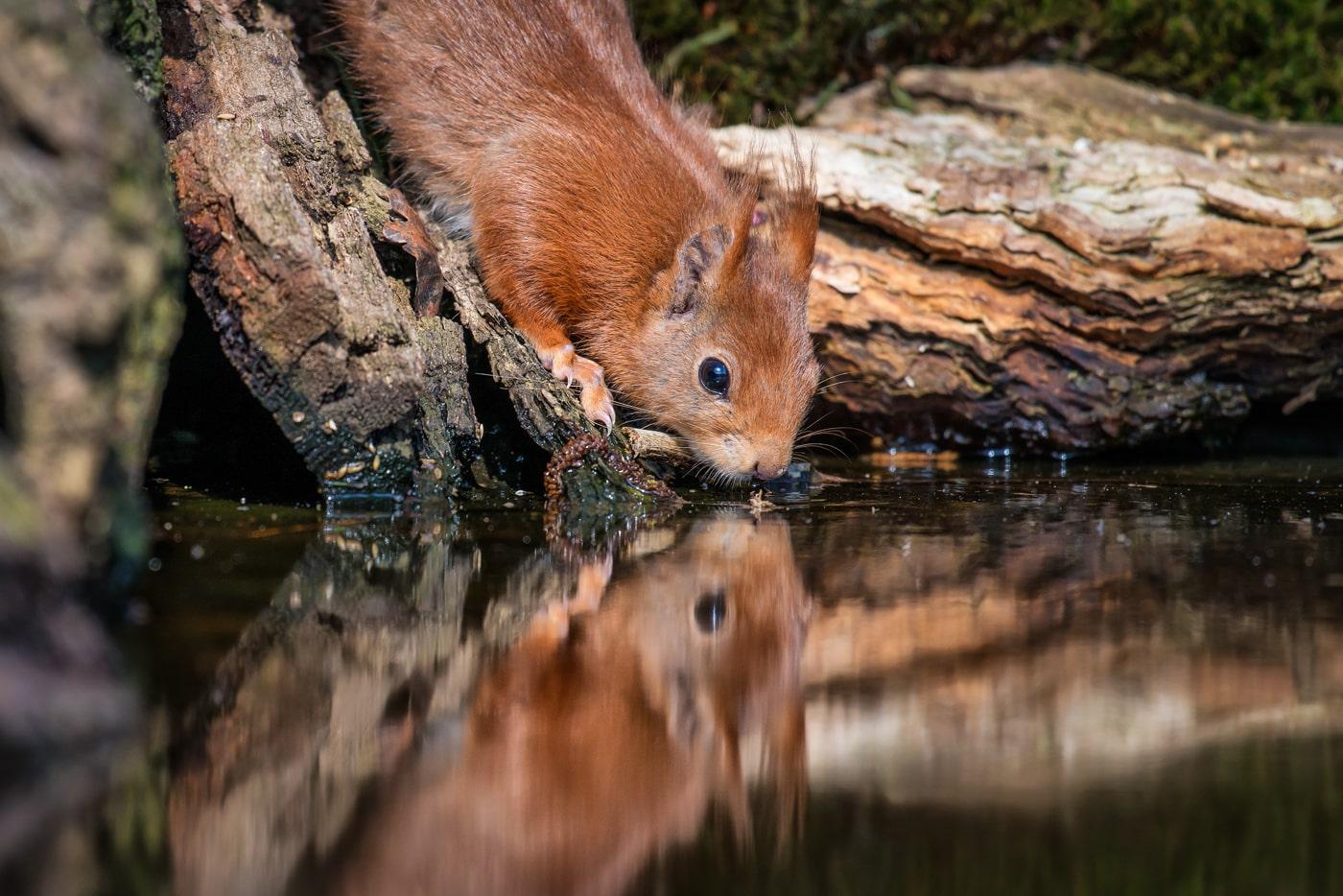 Eichhörnchen | © Peter Berlinghof