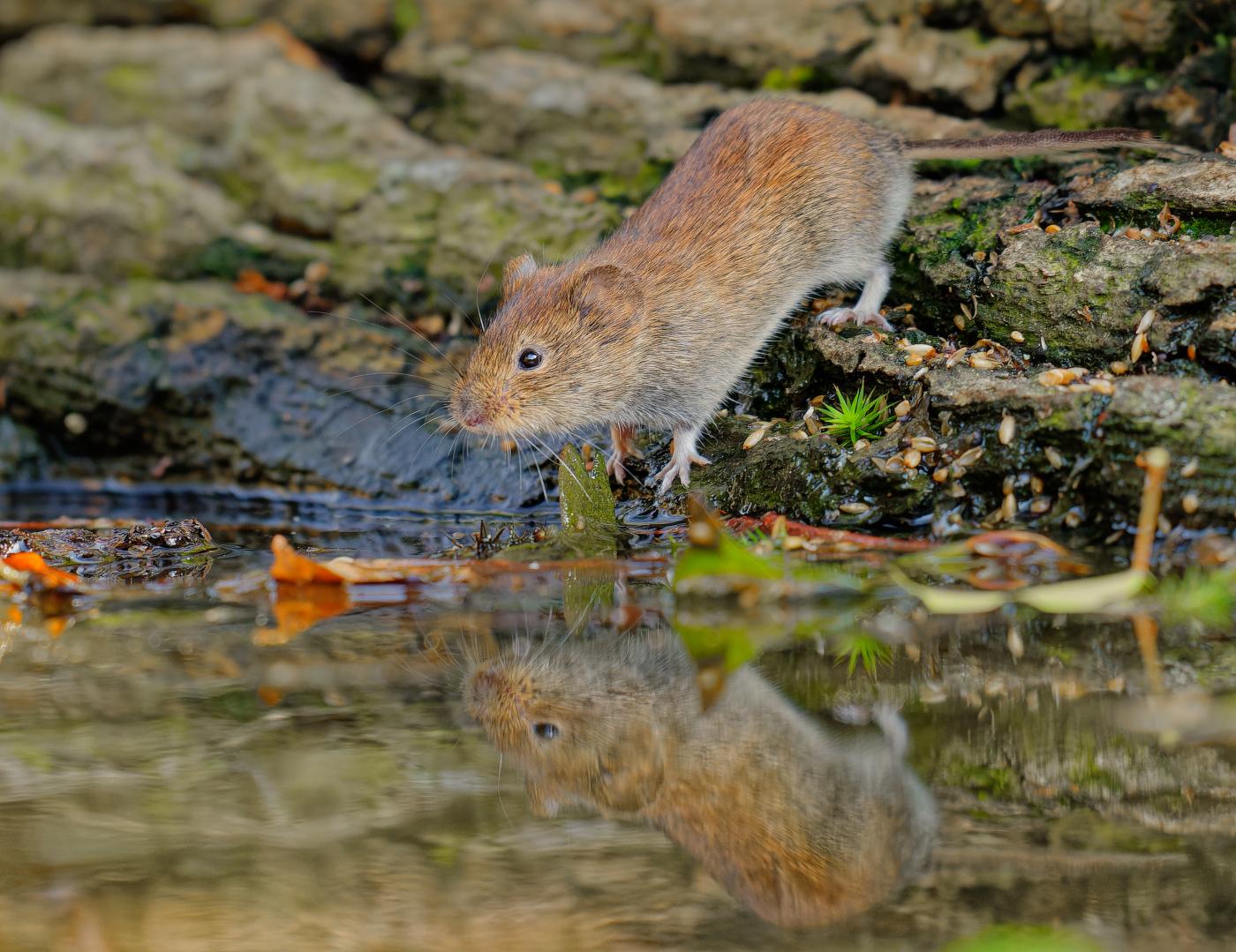 Maus + Spiegelbild | ©  PeterBerlinghof