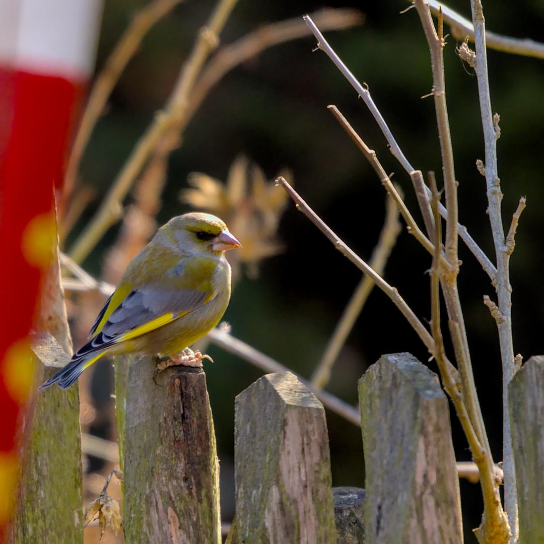 Grünfink   © HaukeWintjen