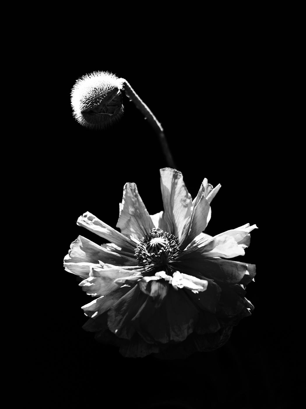 Poppy   © Dieter Vollmer