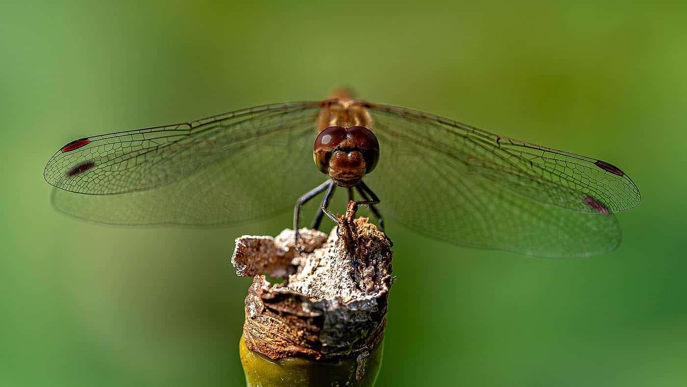 Dragonfly  | © Fred Eversmann