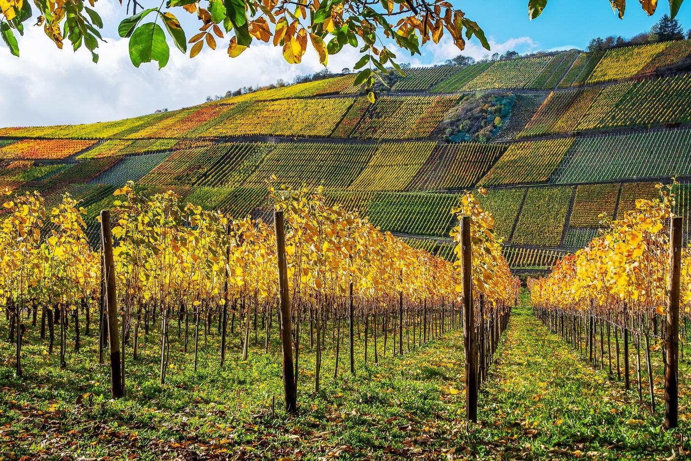 Wineyard Harvest | © Roland Gras